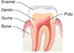 Tooth Interior